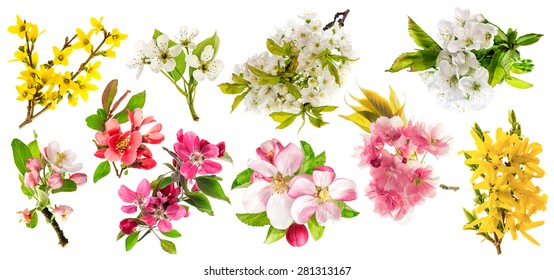 Blossoms of apple tree, cherry twigs, pear, forsythia. Set of spring flowers isolated on white background.