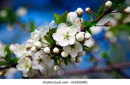 blossoms apple tree / flowers of apple tree