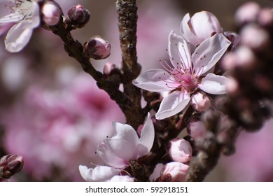 blossoms of the bonfire peach tree