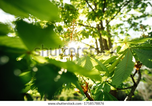 Blossoms of a chestnut tree with the sun in the background