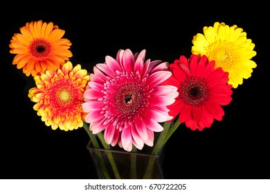 Blossoms of colorful Gerbera flowers in various colors isolated on black background