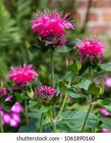 Blossoms of crimson beebalm or monarda didyma in the garden. This plant can be used for herbal medicine and aromatic tea.