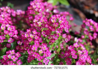 Blossoms of Deep Pink Alyssum