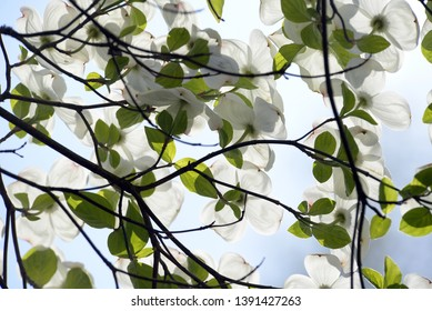 Blossoms of a flower dogwood