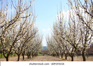 Blossoms are the flowers of stone fruit trees  and of some other plants with a similar appearance that flower profusely for a period of time in spring.The trees makeup the character of the countryside