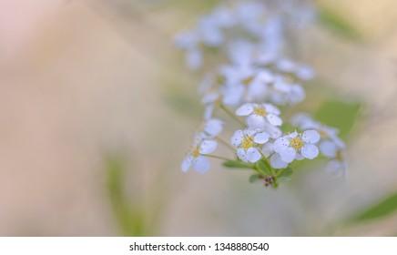 Blossoms of the Grand Prix (Spiraea vanhouttei)