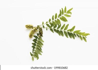 Blossoms of honey locust (Gleditsia triacanthos)