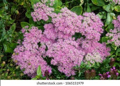 Blossoms of Hylotelephium spectabile or stonecrop in the garden.