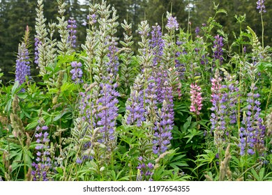 Blossoms of large-leaved lupine. Bohemian Forest. Czech Republic.