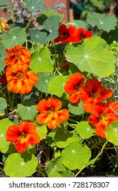 Blossoms and leaves of Watercress or Nasturium a spicy kitchen plant.