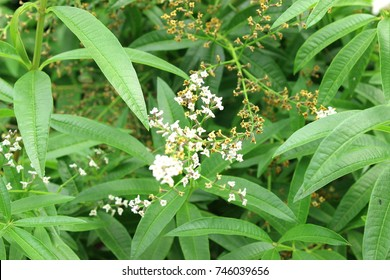 Blossoms of the lemon verbena plant have a wonderful lemon aroma. Its leaves can be dried to make tea leaves.