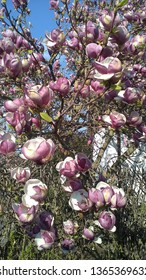 blossoms of magnolia from close-up