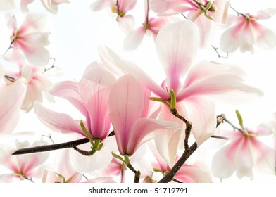 Blossoms of a magnolia-tree in spring