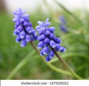 Blossoms of muscari