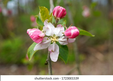 Blossoms on an apple tree.