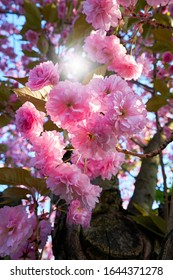 Blossoms on a cherry tree in spring in back light