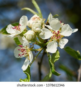 Blossoms on a wild apple tree in spring