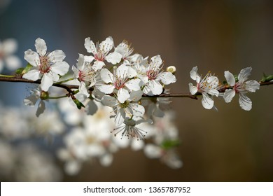Blossoms on a wild cherry tree in spring