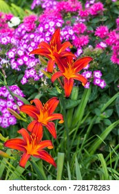 Blossoms of orange Daylily with Phlox plants in the background.