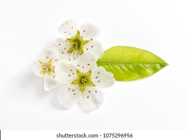 Blossoms of pear tree on white background. Spring flower. Top view