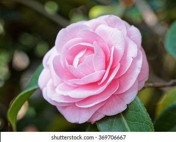 Blossoms of pink camellia , Camellia japonica
