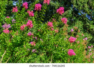 Blossoms of pink Crepe Myrtle (lagerstroemia indica genus Lythraceae) flowering in summer. Nice and comfortable great garden. Beautiful places of the Nikitsky Botanical Garden, Yalta Crimea.