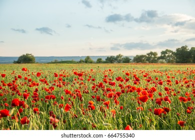 Blossoms of poppies in the fields in the South of Russia