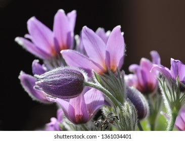blossoms of small pasque flower, pulsatilla, from detail