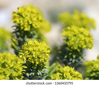 blossoms of spurge, euphorbia