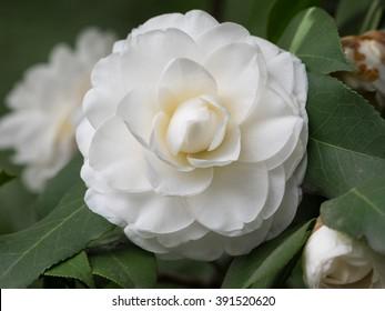 Blossoms of white camellia , Camellia japonica