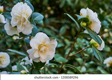 Blossoms of white camellia , Camellia japonica on a green bush