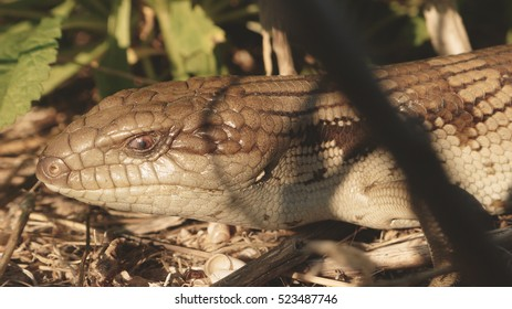 Blotched blue tongued skink at the Limestone Coast in South Australia