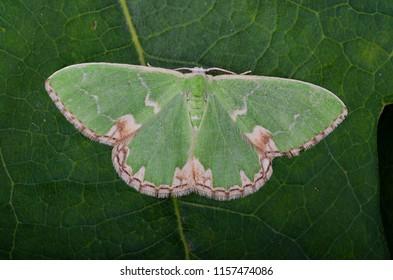 Blotched Emerald moth ( Comibaena bajularia ). Sitting on a leaf.