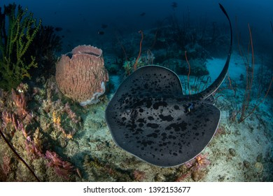 Blotched fantail ray, Taeniura meyeni with Barrel sponge coral in tropical reef
