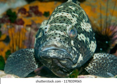 Blotched Grouper head on with coral and urchins blurred in background