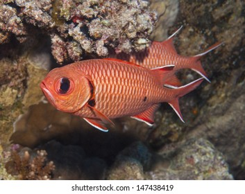 Blotcheye soldierfish myripristis murdjan swimming underwater on a tropical coral reef