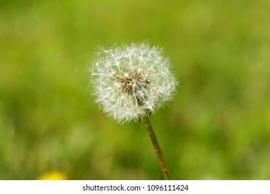 fluffy blow ball images stock photos vectors shutterstock