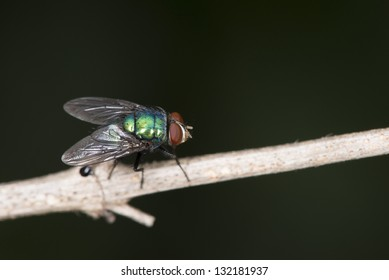 Blow, carrion, bluebottles, greenbottles or cluster fly