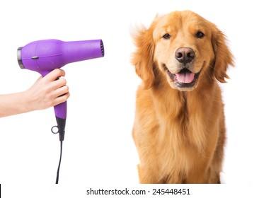 Blow dryer on a fresh groomed, happy golden retriever dog