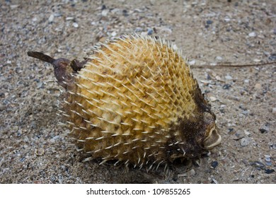 The blow fish dies on the beach