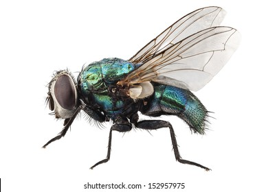 blow fly species Lucilia caesar in high definition with extreme focus and DOF (depth of field) isolated on white background with clipping path