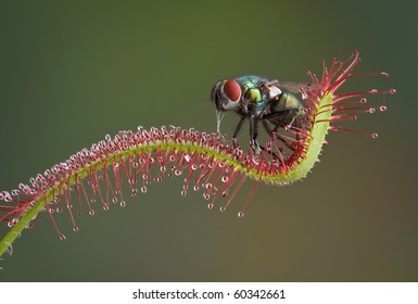 A blow fly is trapped on a carnivorous sundew plant and is being eaten alive. I removed him and washed him off and he flew away.