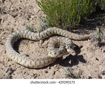 Blow Snake
