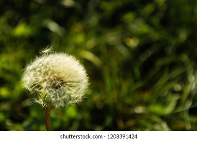 blowball in an autumnal meadow