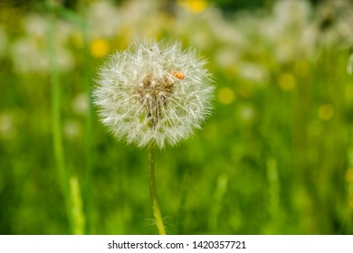 Blowball closeup with bokeh background field. Dandelion flower macro with blurred background for wallpaper, design. text.