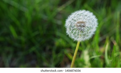 blowball dandelion close up green grass summer and spring background natural backdrop