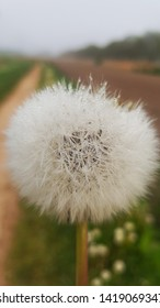Blowball, dandelion with dew drops