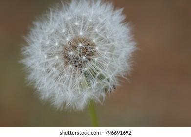 blowball dandelion macro