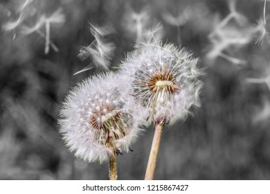 Blowball dandelion seed head flower blossom white green spring seeds blown away