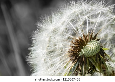 Blowball dandelion seed head flower blossom white green spring missing seeds